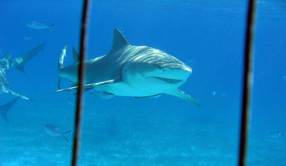 Cage dive with Lemon and Tiger Sharks is an Incredible Adventure!